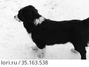 Черно-белый пес. Стоковое фото, фотограф Анатолий Матвейчук / Фотобанк Лори