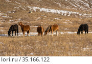Multi-colored horses graze on a winter pasture in the Altai mountains. Стоковое фото, фотограф Наталья Волкова / Фотобанк Лори
