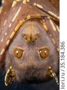 Eastern tube-nosed bat (Nyctimene robinsoni), portrait. Tolga Bat... Стоковое фото, фотограф Jurgen Freund / Nature Picture Library / Фотобанк Лори