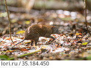 Musky rat-kangaroo (Hypsiprymnodon moschatus) in leaf litter. Queensland, Australia. Стоковое фото, фотограф Jurgen Freund / Nature Picture Library / Фотобанк Лори