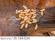 Sago palm weevil (Rhynchophorus sp) grubs found during Sago palm ... Стоковое фото, фотограф Jurgen Freund / Nature Picture Library / Фотобанк Лори