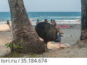 Southern cassowary (Casuarius casuarius johnsonii) with open beak on beach, tourists in background. Etty Bay, Queensland, Australia. 2015. Стоковое фото, фотограф Jurgen Freund / Nature Picture Library / Фотобанк Лори