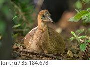 Southern cassowary (Casuarius casuarius johnsonii) chick sitting on ground, portrait. Topaz, Atherton Tablelands, Far North Queensland, Australia. Стоковое фото, фотограф Jurgen Freund / Nature Picture Library / Фотобанк Лори