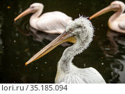 Close-up portrait of an old pelican with a blurred background. Стоковое фото, фотограф Restyler Viacheslav / Фотобанк Лори