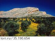 Olive grove, Olives, Olea europea, Oleaceae, useful pant, tree, yellow... Стоковое фото, фотограф R. Kunz / age Fotostock / Фотобанк Лори