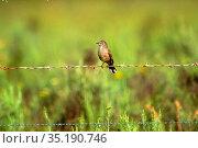 Karoo Robin, Erythropygia coryphaeus, Turdidae, bird, animal, Cape... Стоковое фото, фотограф R. Kunz / age Fotostock / Фотобанк Лори