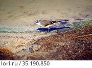 Cape Wagtail, Motacilla capensis, Motacillidae, bird, animal, Addo... Стоковое фото, фотограф R. Kunz / age Fotostock / Фотобанк Лори