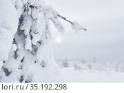 Coniferous tree covered with snow after a blizzard against the background of a foggy frosty landscape. Стоковое фото, фотограф Евгений Харитонов / Фотобанк Лори