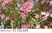 Blossoming pink flowers of oleander in garden at sunny day. Стоковое видео, видеограф Яков Филимонов / Фотобанк Лори
