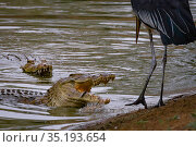 Nile crocodile (Crocodylus niloticus) surfacing to eat tiny fish whilst a Marabou stork (Leptoptilos crumenifer) looks on, ready to steal a fish if the... Стоковое фото, фотограф Jen Guyton / Nature Picture Library / Фотобанк Лори