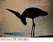 Marabou stork (Leptoptilos crumenifer) drinking at sunset in the Msicadzi River, Gorongosa National Park, Mozambique. During the  dry season many water... Стоковое фото, фотограф Jen Guyton / Nature Picture Library / Фотобанк Лори