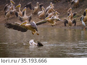 Nile crocodile (Crocodylus niloticus) with Great white pelican (Pelecanus onocrotalus) prey. Other pelicans flying or wings held up in alarm.  Msicadzi... Стоковое фото, фотограф Jen Guyton / Nature Picture Library / Фотобанк Лори