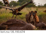 White-backed vultures (Gyps africanus) and spotted hyenas (Crocuta crocuta) squabble over the drying and deflated skin of an elephant carcass (Loxodonta... Стоковое фото, фотограф Jen Guyton / Nature Picture Library / Фотобанк Лори