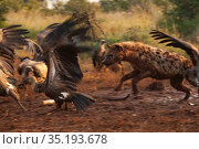 A spotted hyena (Crocuta crocuta) chases a flock of white-backed vultures (Gyps africanus) away from an elephant carcass (Loxodonta africana), Laikipia... The hyenas are tinted a reddish-brown from days of walking in and out of the elephant's body cavity. The elephant was killed by government officials after it killed a man walking home late at night. White-backed vultures are listed as critically endangered on the IUCN Red List due to severe population declines caused by loss of their primary food source (dead wildlife) and poisoning by farmers. Стоковое фото, фотограф Jen Guyton / Nature Picture Library / Фотобанк Лори