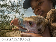 Young Mozambican biologist Diolinda Mundoza admires a young white-headed vulture (Trigonoceps occipitalis) as she prepares to release it. Gorongosa National Park, Mozambique. Стоковое фото, фотограф Jen Guyton / Nature Picture Library / Фотобанк Лори