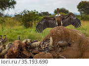 Rüppell's griffon vultures (Gyps rueppelli) and white-backed vultures (Gyps africanus) feed on an elephant carcass (Loxodonta africana), Laikipia Plateau... Стоковое фото, фотограф Jen Guyton / Nature Picture Library / Фотобанк Лори