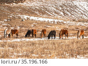 A herd of horses graze on a winter pasture in the Altai mountains, Russia. Стоковое фото, фотограф Наталья Волкова / Фотобанк Лори