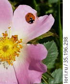 Ladybug on a dogrose flower. Стоковое фото, фотограф Юрий Бизгаймер / Фотобанк Лори