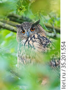Eurasian eagle owl (Bubo bubo) perched in tree, portrait. The Netherlands. July. Стоковое фото, фотограф Edwin Giesbers / Nature Picture Library / Фотобанк Лори