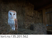 Barn owl (Tyto alba) perched on hay bales in barn. Captive. Стоковое фото, фотограф Edwin Giesbers / Nature Picture Library / Фотобанк Лори