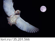 Barn owl (Tyto alba) flying with Mouse prey in beak, full moon in night sky. The Netherlands. August. Double exposure. Стоковое фото, фотограф Edwin Giesbers / Nature Picture Library / Фотобанк Лори
