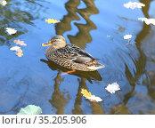 Mallard (Anas platyrhynchos), dabbling duck, female, in autumn pond. Стоковое фото, фотограф Валерия Попова / Фотобанк Лори