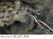 Broadclub Cuttlefish (Sepia latimanus) with Painted Spiny Lobster... Стоковое фото, фотограф Colin Marshall / age Fotostock / Фотобанк Лори
