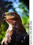 Whitetail sea eagle. Стоковое фото, фотограф Арестов Андрей Павлович / Фотобанк Лори