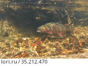 Greenback cutthroat trout (Oncorhynchus clarkii stomias) swimming with its mouth open. Fish do this to take in more water across their gills hence they... Стоковое фото, фотограф Charlie Summers / Nature Picture Library / Фотобанк Лори