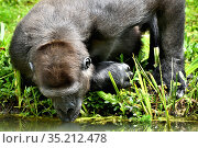 Western lowland gorilla (Gorilla gorilla gorilla) drinking, occurs in Central Africa. Captive. Стоковое фото, фотограф Daniel Heuclin / Nature Picture Library / Фотобанк Лори