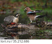 Eurasian jay (Garrulus glandarius) confronting Great spotted woodpecker (Dendrocopos major), on log in pool. North Norfolk, England, UK. January. Стоковое фото, фотограф David Tipling / Nature Picture Library / Фотобанк Лори