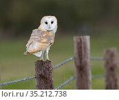 Barn owl (Tyto alba) perched on fence. North Norfolk, England, UK. February. Стоковое фото, фотограф David Tipling / Nature Picture Library / Фотобанк Лори