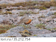 Eurasian dotterel (Charadrius morinellus) female standing on rock. Cairngorms National Park, Scotland, UK. May. Стоковое фото, фотограф David Tipling / Nature Picture Library / Фотобанк Лори