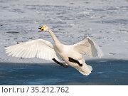 Whooper swan (Cygnus cygnus) landing on ice with open beak. Hokkaido, Japan. February. Стоковое фото, фотограф David Tipling / Nature Picture Library / Фотобанк Лори