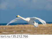 Whooper swan (Cygnus cygnus) in flight, about to land. Hokkaido, Japan. February. Стоковое фото, фотограф David Tipling / Nature Picture Library / Фотобанк Лори