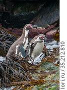 Humboldt penguin (Spheniscus humboldti) coming ashore through kelp, Tilgo Island, La Serena, Humboldt Archipelago, Chile. Стоковое фото, фотограф Tui De Roy / Nature Picture Library / Фотобанк Лори