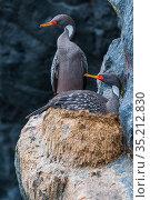 Red legged cormorant (Phalacrocorax gaimardi) nesting on cliff ledge, Tilgo Island, La Serena, Humboldt Archipelago, Chile. Стоковое фото, фотограф Tui De Roy / Nature Picture Library / Фотобанк Лори