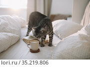 cute scottish straight grey tabby cat lying on bed and sleeping in soft morning light. Стоковое фото, фотограф Galina kondratenko / Фотобанк Лори