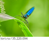 Beautiful Demoiselle damselfly, (Calopteryx virgo), male , Wales, UK. Стоковое фото, фотограф Andy Rouse / Nature Picture Library / Фотобанк Лори