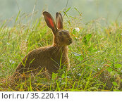 European hare, (Lepus europaeus), in grassland, UK. Стоковое фото, фотограф Andy Rouse / Nature Picture Library / Фотобанк Лори