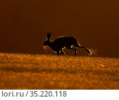 European hare, (Lepus europaeus), at sunrise with morning dew, UK. Стоковое фото, фотограф Andy Rouse / Nature Picture Library / Фотобанк Лори