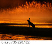 European hare, (Lepus europaeus), at sunrise, UK. Стоковое фото, фотограф Andy Rouse / Nature Picture Library / Фотобанк Лори