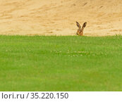 European hare, (Lepus europaeus), in golf course bunker, UK. Стоковое фото, фотограф Andy Rouse / Nature Picture Library / Фотобанк Лори