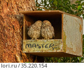 Little owl, (Athene noctua), owlets in nest box, UK. Стоковое фото, фотограф Andy Rouse / Nature Picture Library / Фотобанк Лори