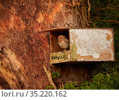 Little owl, (Athene noctua), owlet in nest box, UK. Стоковое фото, фотограф Andy Rouse / Nature Picture Library / Фотобанк Лори