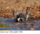 Pied wagtail, (Motacilla alba), male bathing, UK. Стоковое фото, фотограф Andy Rouse / Nature Picture Library / Фотобанк Лори