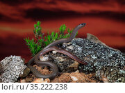 Pink-tailed worm lizard (Aprasia parapulchella) male, Victoria, Australia. Controlled conditions. Стоковое фото, фотограф Robert Valentic / Nature Picture Library / Фотобанк Лори
