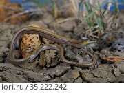 Portrait of the endangered Striped legless lizard (Delma impar) from the suburb of Deer Park in west Melbourne, Victoria, Australia. Species threatened by development. Controlled conditions. Стоковое фото, фотограф Robert Valentic / Nature Picture Library / Фотобанк Лори