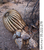 Barrel cactus (Ferocactus wislizeni) and Prickly pear (Opuntia sp) charred by Big Horn Fire, a wildfire caused by a lightning strike on 5th June 2020 which... Стоковое фото, фотограф Jack Dykinga / Nature Picture Library / Фотобанк Лори