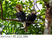Papuan hornbill (Rhyticeros plicatus) pair perched in tree, male preening. Papua New Guinea. Стоковое фото, фотограф Konrad Wothe / Nature Picture Library / Фотобанк Лори